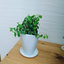 【新居のグリーン】プミラ枯れちゃったの記事に添付されている画像