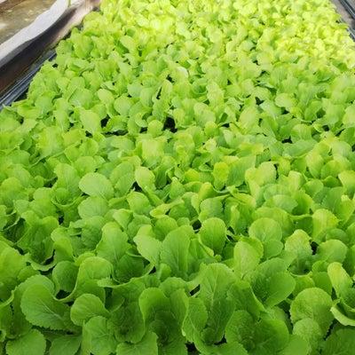 春採り白菜の定植と大玉トマトの初収穫の記事に添付されている画像