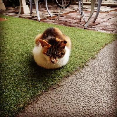江東区にある ロコマーケット亀戸サロンの 看板猫 ミーちゃん (*´∀`)♪の記事に添付されている画像