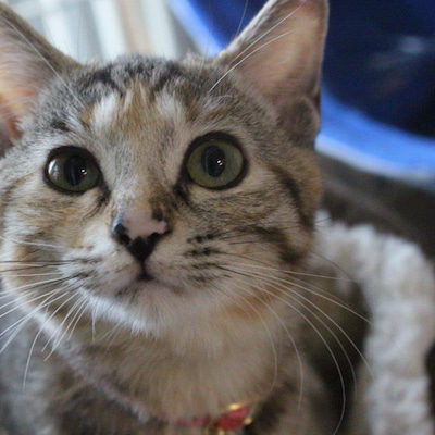 明石の多頭崩壊猫 さくらんぼちゃん検査終わりましたの記事に添付されている画像