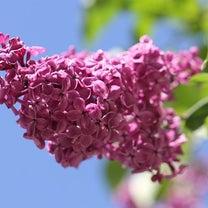 [季節のお花]ライラックについての記事に添付されている画像