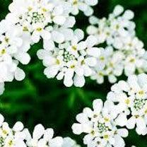 [季節のお花]イベリスについての記事に添付されている画像