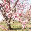 前橋市の接骨院 [ 梅の花の季節 ]の画像