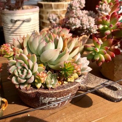 ぼたんさん鉢に色々植え付けました。(^^♪の記事に添付されている画像