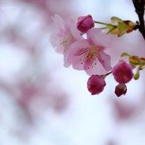 河津桜2019~その5の記事に添付されている画像