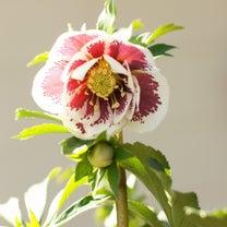 花郷園クリスマスローズマルシェ 〜坐禅とシンギングボウル〜の記事に添付されている画像