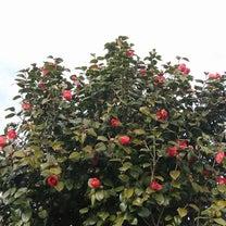 椿と今日の花壇♪の記事に添付されている画像