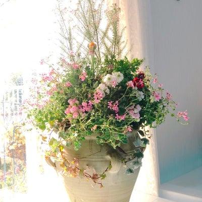 ピンク ライスフラワーとペラルゴニウム モモナで柔らかな春の寄せ植え♡お花の教室の記事に添付されている画像