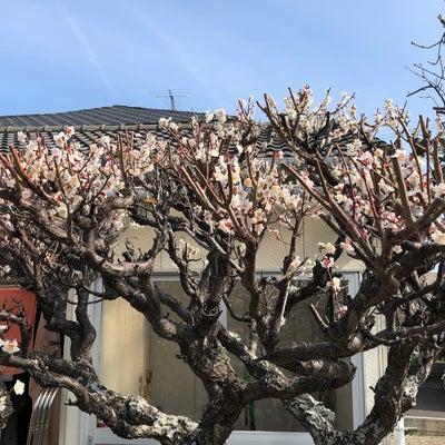 梅も満開の記事に添付されている画像