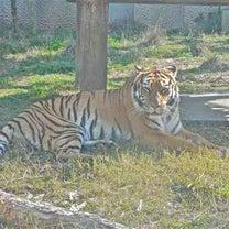 「猫の日」プレイベント Big Cats*ネコ科*平川動物園*以前、出かけた折のの記事に添付されている画像