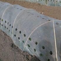そら豆の成長の記事に添付されている画像