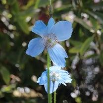 「ヒマラヤの青いケシ」井頭公園花ちょう遊館 (栃木県真岡市)の記事に添付されている画像
