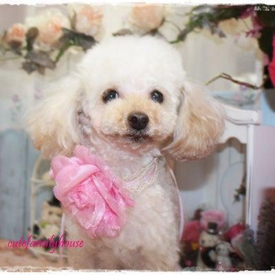 トリミング ぷーちゃんミーアちゃん 本日は「犬の保育園」でした~(^^)/の記事に添付されている画像