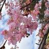 春だねの画像