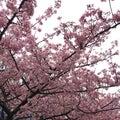 #桜貝の画像