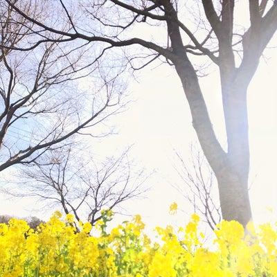 【今日の花】ナノハナ(菜の花)の記事に添付されている画像