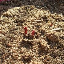春ですね?芍薬の芽が出て来たよ。の記事に添付されている画像