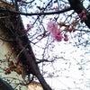 桜が咲いてる〜の画像