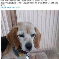 宮城県栗原市で17歳ビーグル犬迷子の記事に添付されている画像