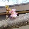 ~河津桜~の画像