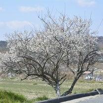 伊川谷の梅の記事に添付されている画像