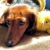 おもちゃをTINOが取ったと……目で訴えている momoです。・・?演技だよね? 絶...の画像