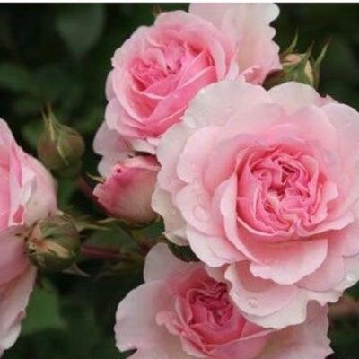 待ち遠しいバラの開花♡の記事に添付されている画像