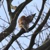 連写!チョウゲンボウの交尾@庭の木での画像