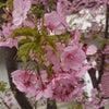 【昇進】~女性管理職と現場職とキャリア~河津桜の早春!編の画像
