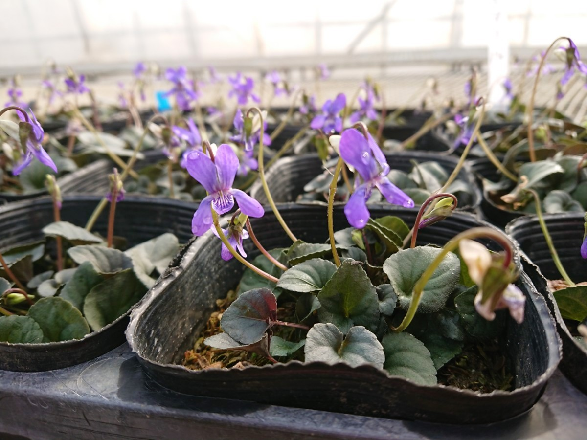 宿根スミレ 紫式部 種