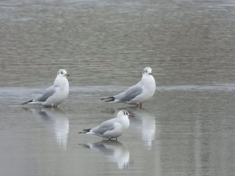 ハシグロクロハラアジサシ | 鳥...