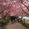 満開の河津桜!の画像