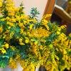 ミモザの花の画像