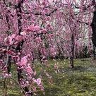 """""""今年もご案内いたします! 艶やかな城南宮のしだれ梅と伏見を満喫する旅""""の記事より"""
