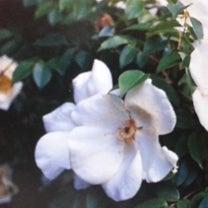 現在のバラ主要系統に関わってきた野生種 (7-4)の記事に添付されている画像