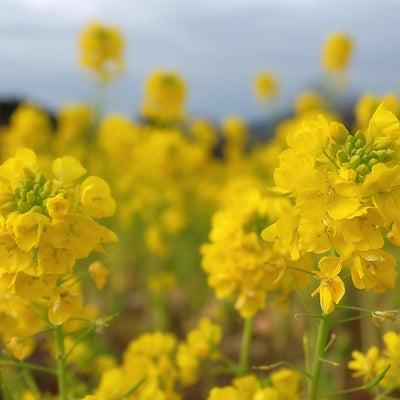 菜の花が春をつれて来たよ♪の記事に添付されている画像