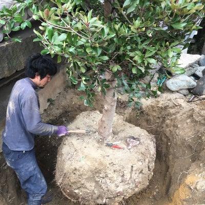 庭木の王者 木斛(モッコク)の記事に添付されている画像