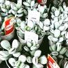 多肉植物『福だるま』がプクプクの画像