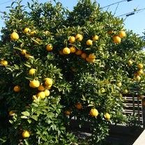 三宝柑の収穫期の記事に添付されている画像
