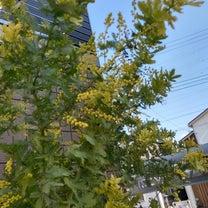ミモザの開花♪の記事に添付されている画像