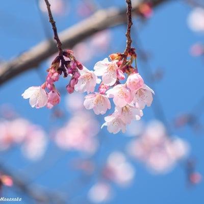 ハチスカザクラ、満開の紅梅と白梅、ホトケノザなどの記事に添付されている画像