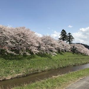 桜の開花・満開情報の画像
