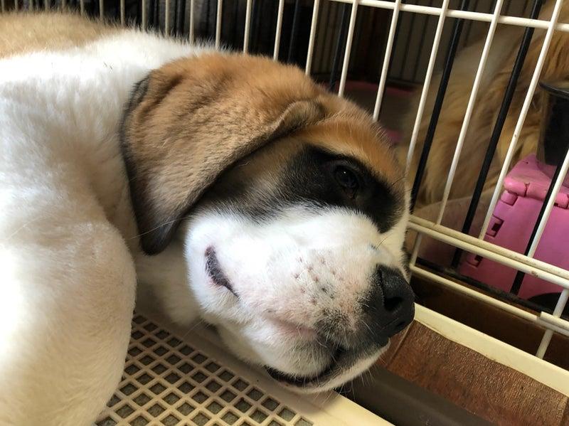 Resultado de imagen para 犬  Saint Bernard 食べる