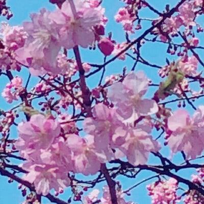 キャンペーン!!春限定の桜の香りのアロマトリートメント♪の記事に添付されている画像