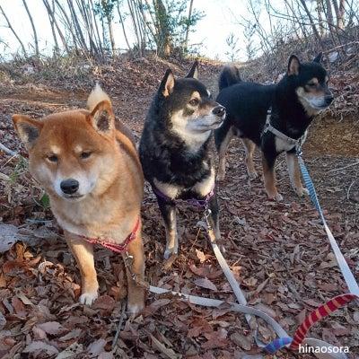 霜柱を踏んでいたらやばい物を踏みそうになる~柴犬ひなあおそらの記事に添付されている画像
