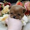 特選犬 超スーパー極小サイズのポケット姫登場の画像