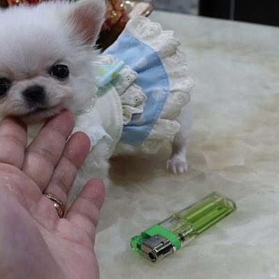 特選犬 超スーパー極小サイズのチワワ王子登場の記事に添付されている画像