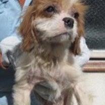 追記あり【収容犬情報】栃木 ブレンハイム メス 【拡散歓迎】の記事に添付されている画像