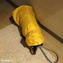 どしゃぶりの雨に生きる気力を無くしたかのようになる~柴犬ひなあおそらの記事に添付されている画像