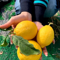 檸檬の記事に添付されている画像